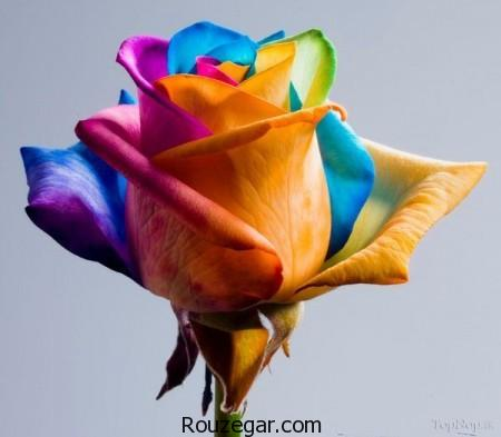 model-flower-rose-rouzegar-20