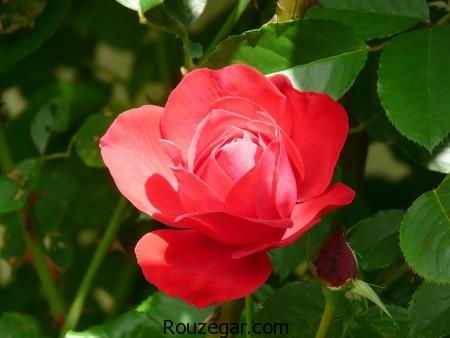 model-flower-rose-rouzegar-6