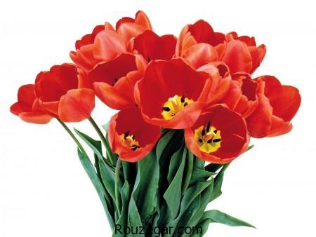 عکس گل شقایق، گل شقایق، عکس گل