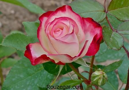 model-flower-rose-rouzegar-10