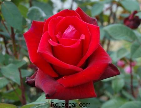 عکس گل رز ، گل رز ، انواع گل