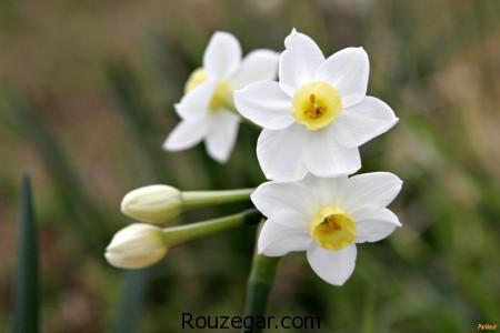 Rosa canina,گل نسترن,نسترن,خواص عرق گل نسترن,گل نسترن به انگلیسی,گل نسترن رونده,گل نسترن قرمز,انواع گل نسترن,میوه گل نسترن,معنی نسترن,عرق گل نسترن