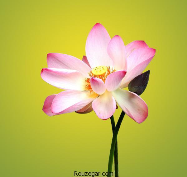 عکس گل نیلوفر، گل نیلوفر، عکس گل