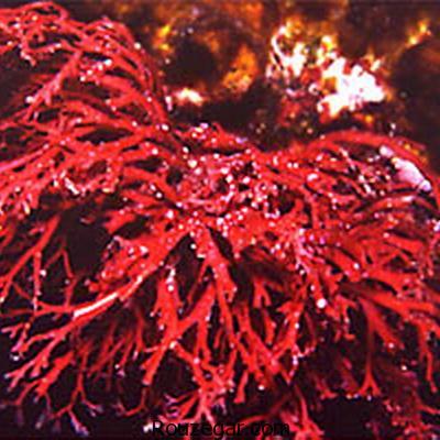 فواید جلبک قرمز برای پوست
