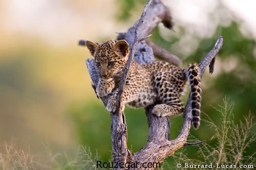 عکس حیات وحش،  عکس حیات وحش آفریقا