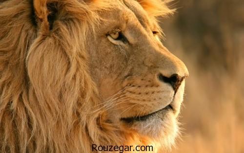 چرا ببر سلطان جنگل نیست,دلایل سلطان بودن شیر,متن زیبا در مورد شیر سلطان جنگل