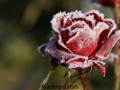 عکس گل,زیباترین عکس گل ها,عکس گل آبی,عکس گل رز,عکس شاخه گل رز قرمز