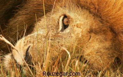 عکس از شیرها، عکس زیبا از  شیرها