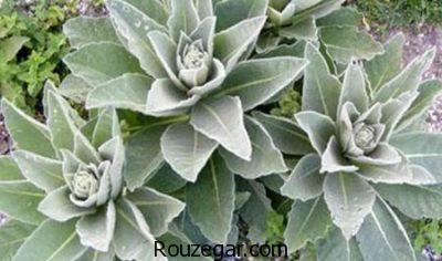 خواص گیاه مولین برای آسم،خواص گیاه مولین برای معده،خواص گیاه مولین برای اعصاب