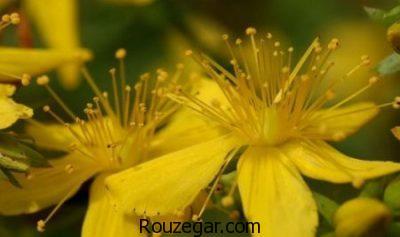 درمان سوختگی با خواص علف چای،درمان کبودی با خواص علف چای،گیاه علف چای