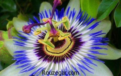 خواص گل ساعتی برای افسردگی،خواص گل ساعتی برای استرس،خواص گل ساعتی کاهش التهاب