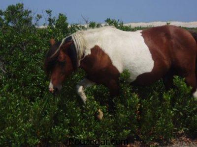 عکس از اسب ها ، اسب اصیل