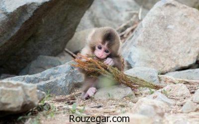 تصاویری از میمون ها، عکس بچه میمون ها