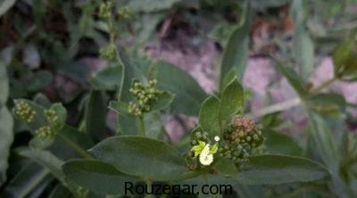 طرز تهیه رنگ از گیاه روناس،روش تهیه رنگ از گیاه روناس،خواص گیاه روناس