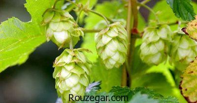 خواص گیاه رازک برای درد مفصل،خواص گیاه رازک برای قاعدگی،خواص گیاه رازک برای التهاب مثانه