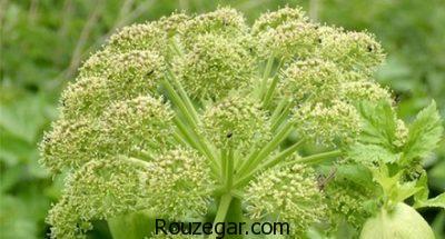 خواص گیاه گلپر برای حافظه،خواص گیاه گلپر برای چاقی،خواص گیاه گلپر برای هضم غذا