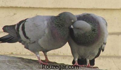 خواص گوشت کبوتر برای کودکان،خواص گوشت کبوتر کوهی،خواص گوشت کبوتر برای کم خونی