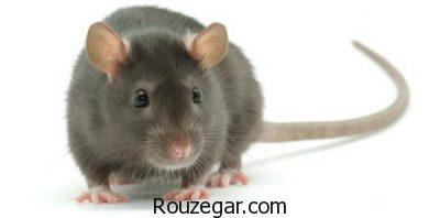 تعبیر خواب موش مرده,تعبیر خواب کشتن موش قهوه ای,تعبیر خواب موش سیاه,تعبیر خواب موش و گربه,تعبیر خواب موش رنگی,تعبیر خواب موش سفید,تعبیر خواب موش در حال فرار