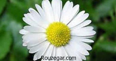 خواص گیاه بابونه در قاعدگی،خواص گیاه بابونه در طب سنتی،خواص گیاه بابونه شیرازی