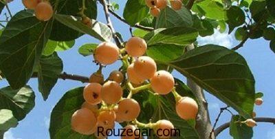 خواص گیاه سه پستان برای بیماری قارچی،خواص گیاه سه پستان برای ریه،خواص گیاه سه پستان برای زخم گلو