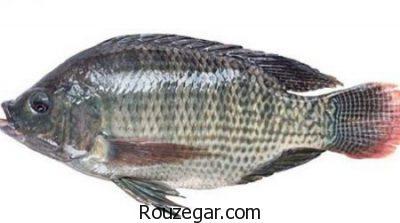 خواص ماهی تیلاپیا برای استخوان،خواص ماهی تیلاپیا برای مغر،خواص ماهی تیلاپیا برای سرطان