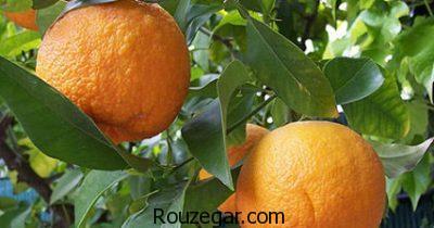 خواص نارنج در طب سنتی،خواص نارنج در بدنسازی،خواص نارنج برای صورت