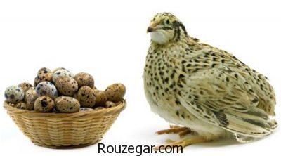 خواص تخم بلدرچین برای استخوان،خواص تخم بلدرچین برای کبد،خواص تخم بلدرچین برای ناتوانی جنسی