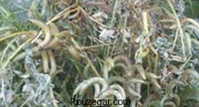 خواص گیاه ناخنک برای پوست،خواص گیاه ناخنک برای سردرد،خواص گیاه ناخنک در قاعدگی