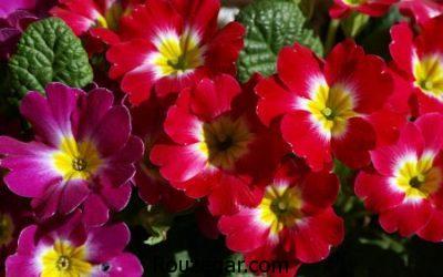 نگهداری گل پامچال در منزل,علت پژمرده شدن گل پامچال,نام دیگر گل پامچال