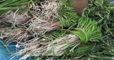 خواص کنگر در طب سنتی,خواص کنگر ماست,مضرات کنگر کوهی