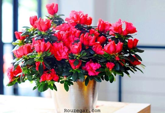 آیا گل آزالیا سمی است؟