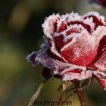 60 عکس گل رز عاشقانه آبی و قرمز و عکس گل برای پروفایل تلگرام