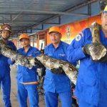 بلندترین مار جهان با طول 8 متر در مالزی یافت شد