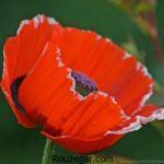 گالری تصاویر زیباترین عکس گل شقایق