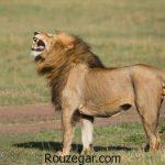با کیفیت ترین عکس از شیرها و بچه شیرهای زیبا و دیدنی