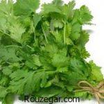 خواص گیاه گشنیز خام برای پوست + خواص گیاه گشنیز در بارداری