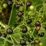 گیاه روناس برای رنگ مو + خواص دارویی گیاه روناس