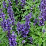 خواص گیاه مریم گلی برای عفونت زنان + خواص گیاه مریم گلی برای تخمدان