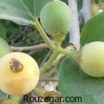 خواص درمانی گیاه سه پستان چیست + خواص گیاه سه پستان در سرماخوردگی