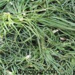 خواص گیاه شنگ کوهی در بارداری + خواص گیاه شنگ در طب سنتی