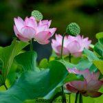 گالری تصاویر زیباترینانواع عکس گل نیلوفر زیبا سری دوم