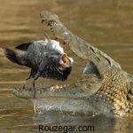 زیباترین عکس از کروکودیل غول پیکر و در حال شکار