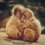 تصاویری از میمون ها و بچه میمون های بانمک و خنده دار