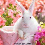 گالری عکس خرگوش های سفید و فانتزی و حامله