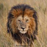 چرا شیر سلطان جنگل است و متن تحقیق در مورد شیر جنگل برای کودکان